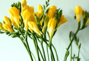 Yellow-Freesia-3